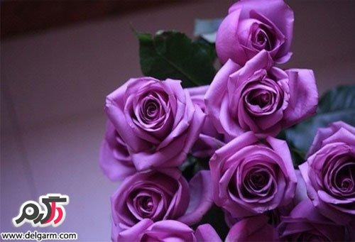 عکس های انواع گل رز ایرانی و هلندی در رنگ های مختلف   و