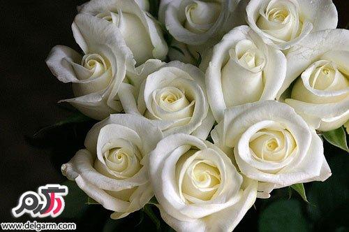 مجله اینترنتی جهانی ها عکس بسیار زیبا از گل رز سفید