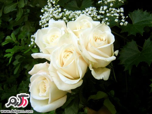 عکس گل چای سفید