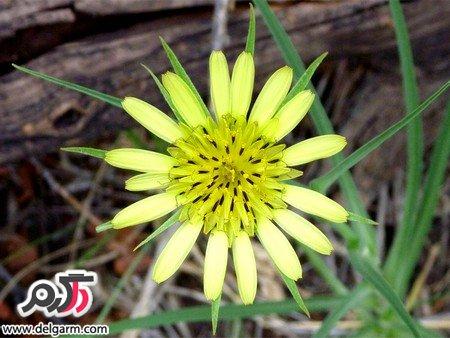 درمان کولیت و التهاب معده با گیاه شنگ