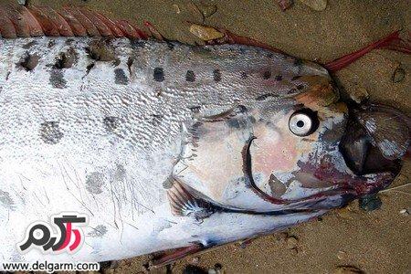 عکسهایی از شاه ماهی عجیب و غریب در سواحل کالیفرنیا