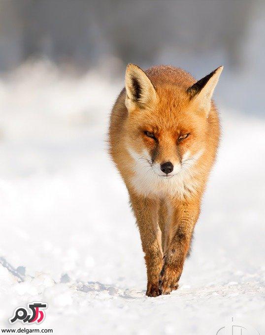 تصاوير بسياز زيبا از روباه