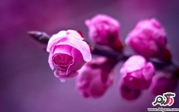 تصاویری زیبا از گل های زیبا سری  مجله اینترنتی دلگرم17