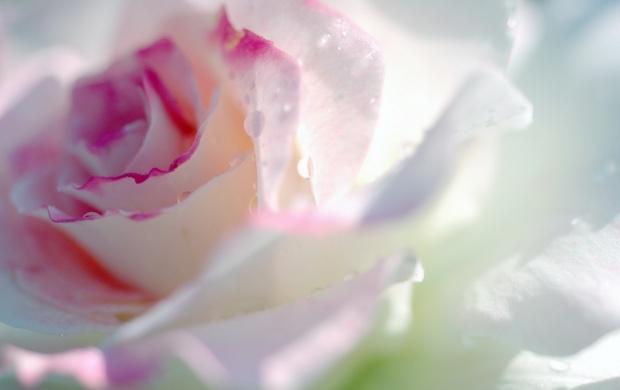 تصاویری زیبا از گل های زیبا