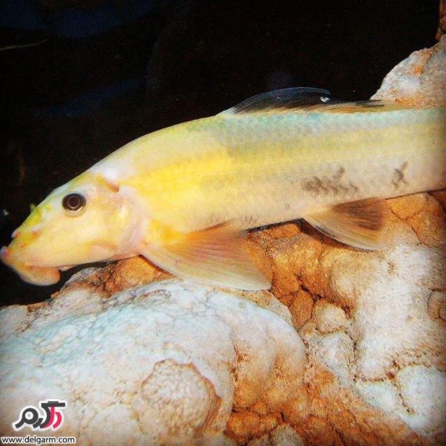 زیباترین نمونه از ماهی تزیینی