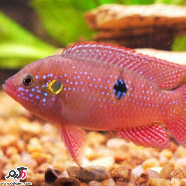 جدیدترین ماهی های تزئینی و آکواریومی