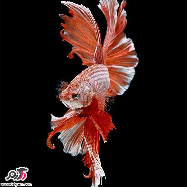 ماهی تزیینی زیبا
