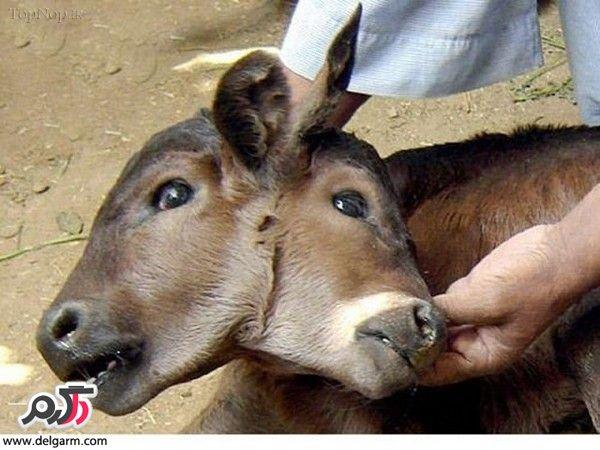 عجیب ترین جانوران دنیا که دوسر دارند