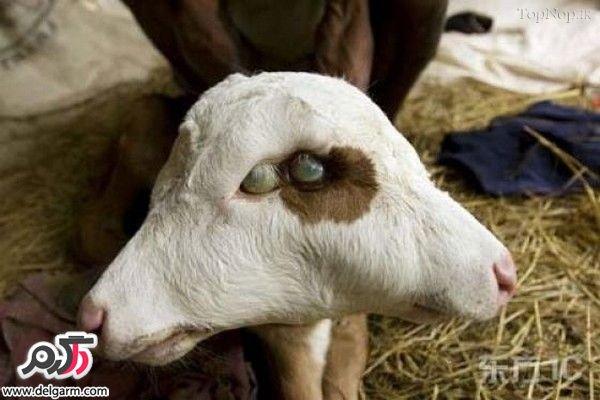 حیوانات و جانوران عجیب دو سر