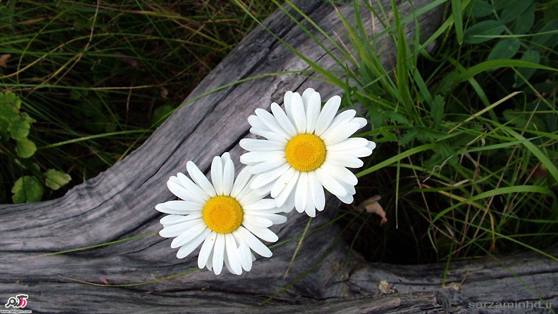 فواید گل بابونه برای سلامت پوست