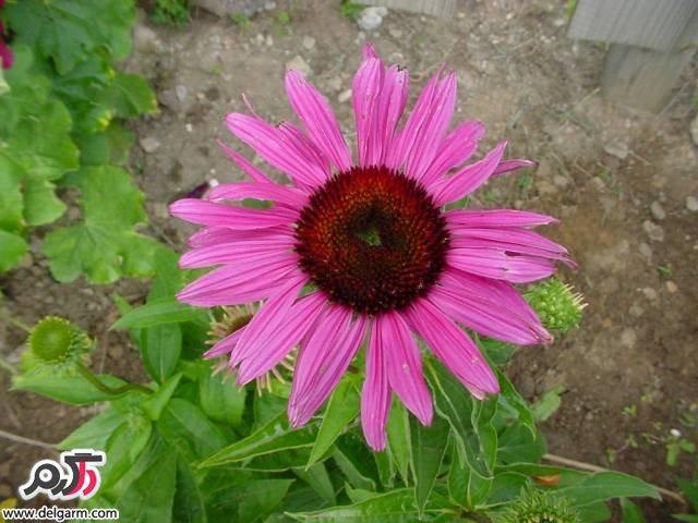 اکیناسه یا سرخارگل: یک گیاه زمستانی تمامعیار
