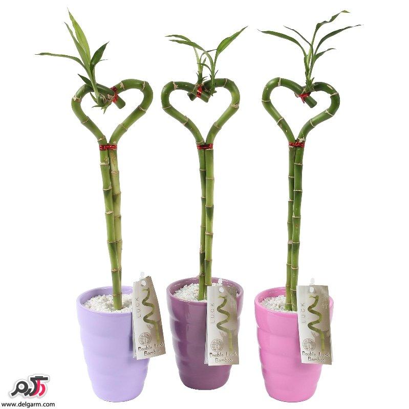 نگهداری از گیاه بامبو در منزل