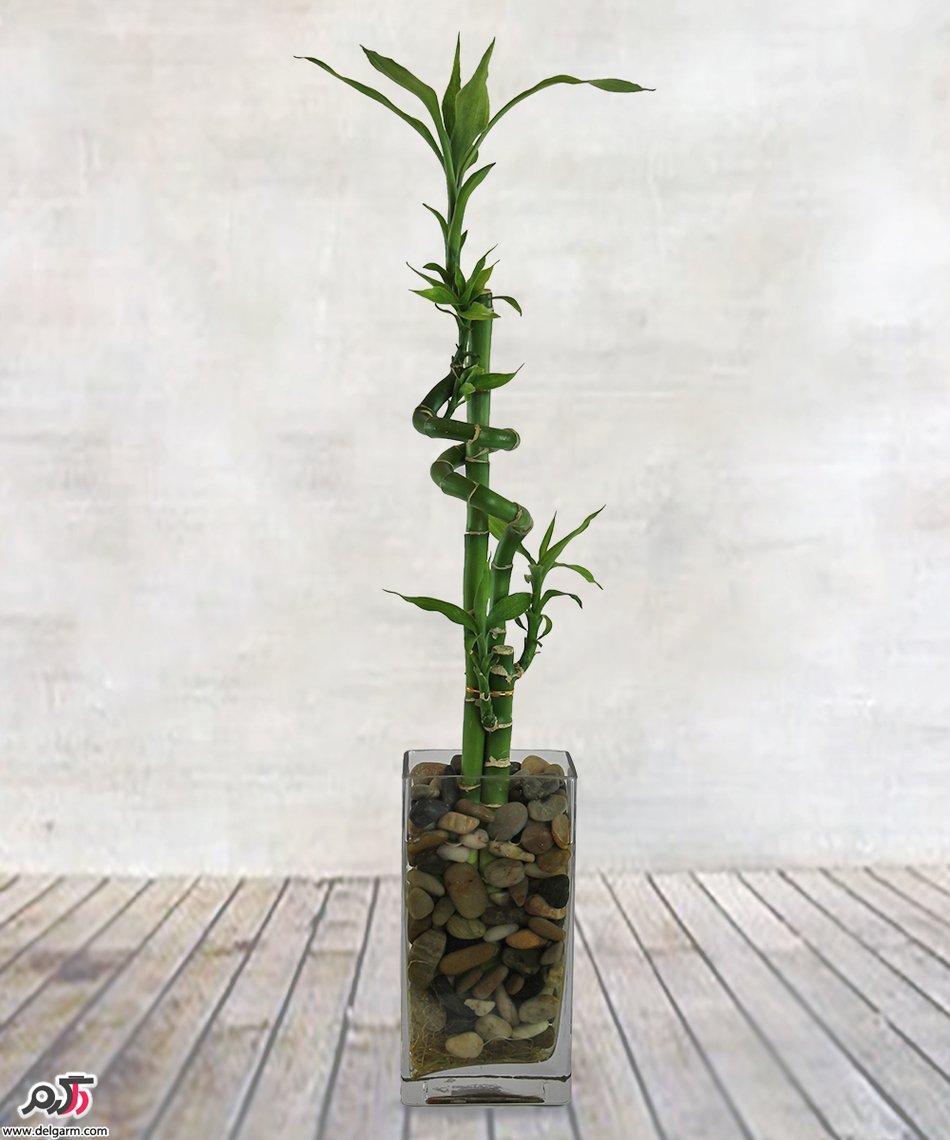 چند توصیه مهم برای نگهداری گیاه «بامبو»