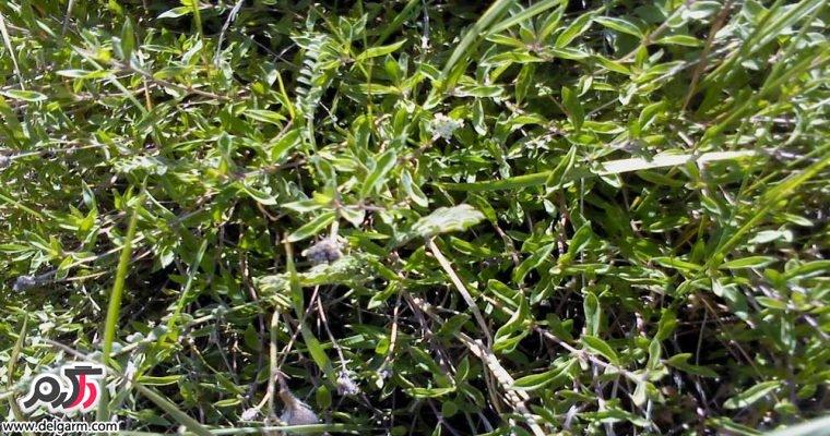 خواص دارویی و درمانی گیاه آنخ (کاکوتی)