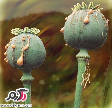 تریاک عصاره در هوا خشک شده گل خشخاش