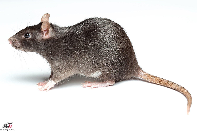 نحوه رهایی از موشها