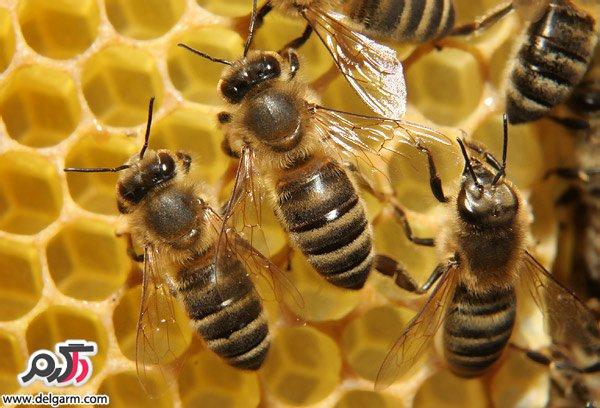 زنبور عسل و بیماری زنبور عسل