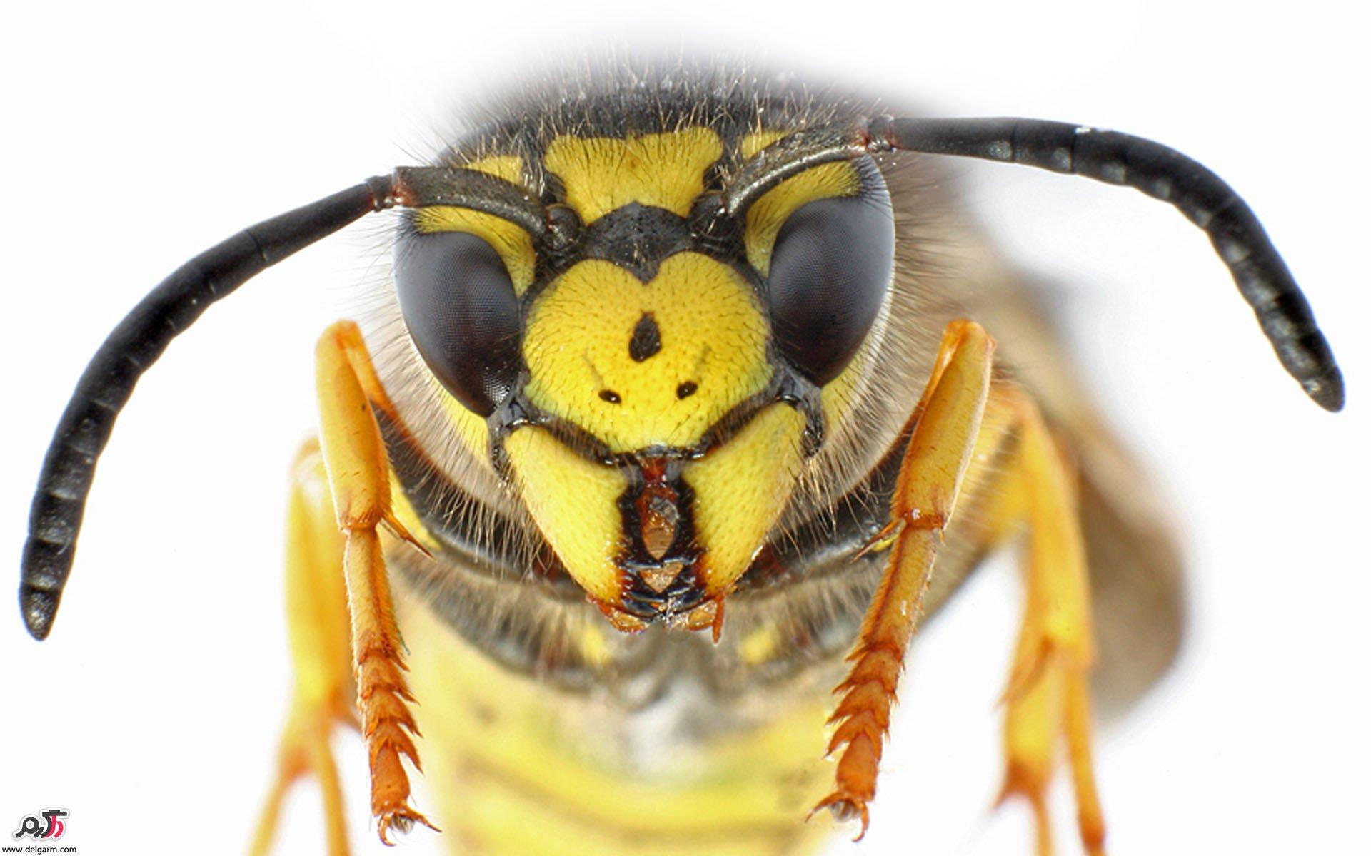 درمان خانگی نیش زنبور (درمان نیش زنبور با داروهای گیاهی)