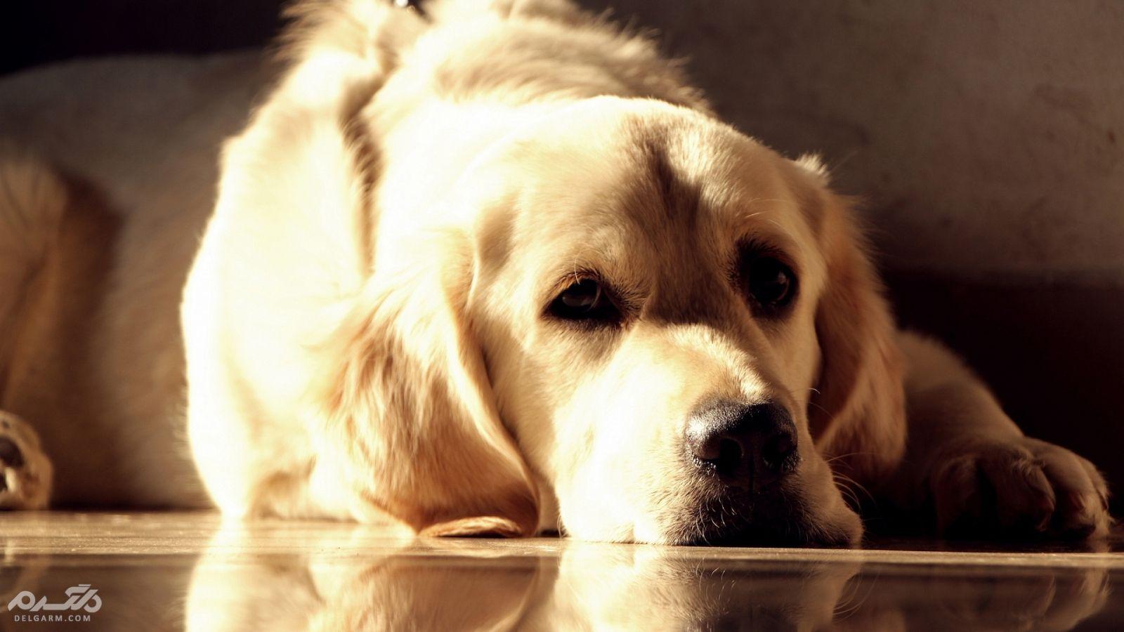 بیماری هاری خطرناک ترین ویروس در سگ