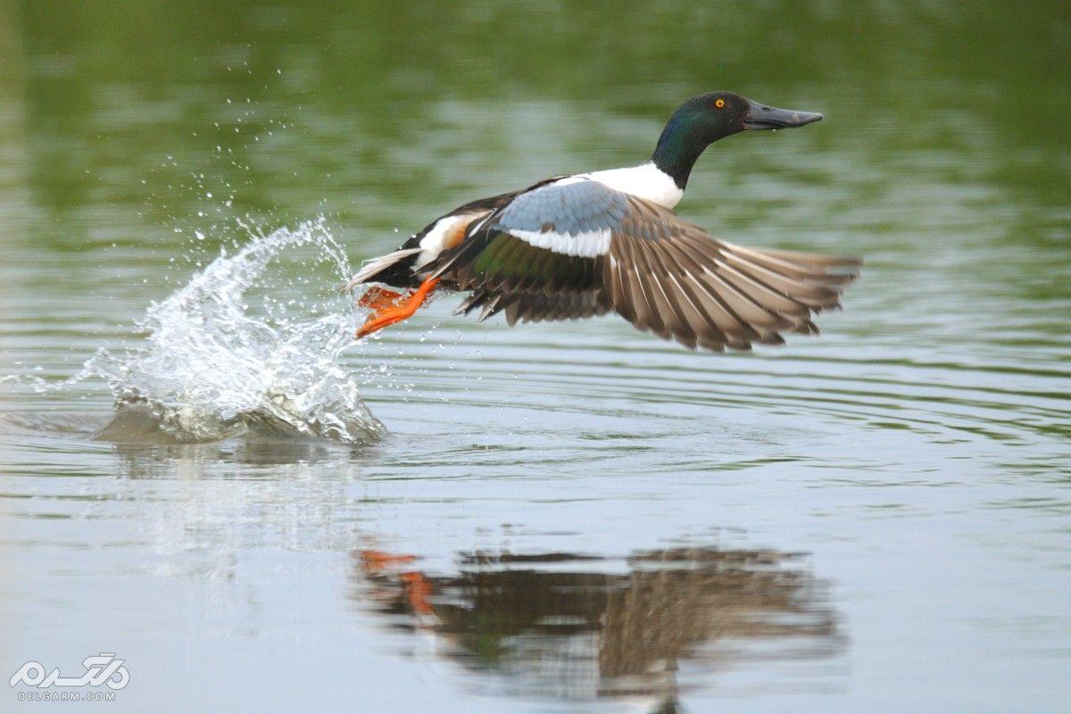 اردک نوک پهن