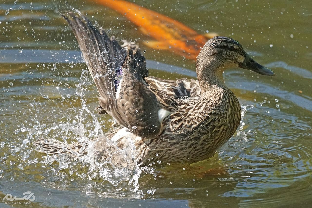 دانلود صدای اردک ماده چگونه می توان اردک نوک پهن را تشخیص داد ؟ + گالری و فیلم