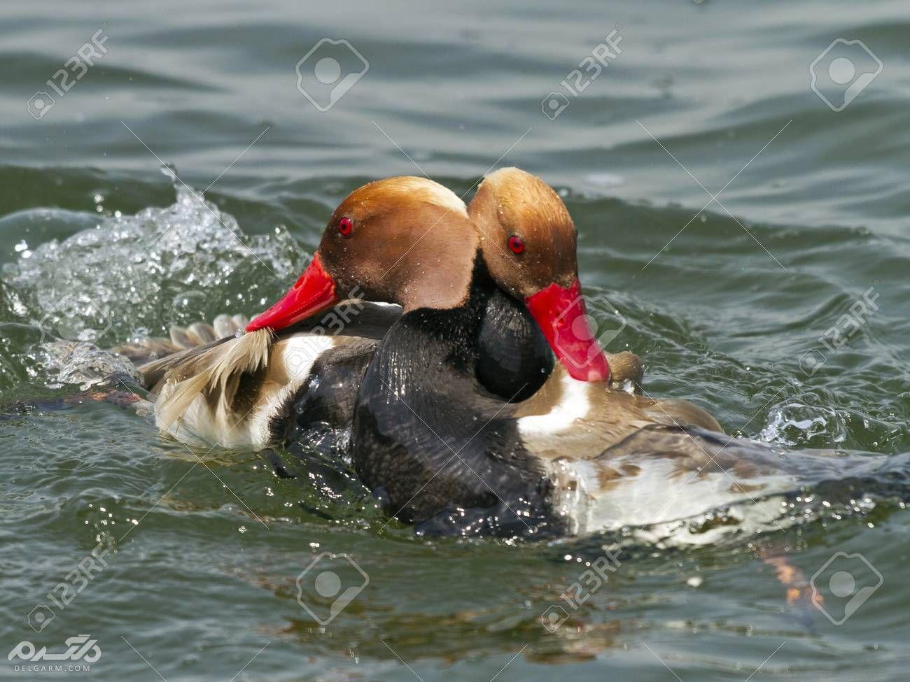 دانلود صدای اردک ماده اردک تاجدار گونه ای دیگر از دسته مرغابیان + گالری