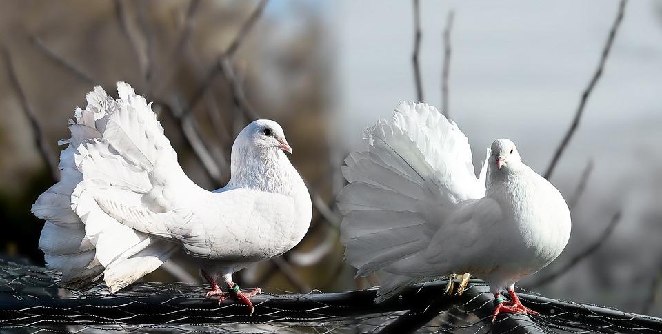 آیا تا بحال به نحوه انتخاب جفت، غذا و جوجه کشی کبوتر فکر کرده اید؟