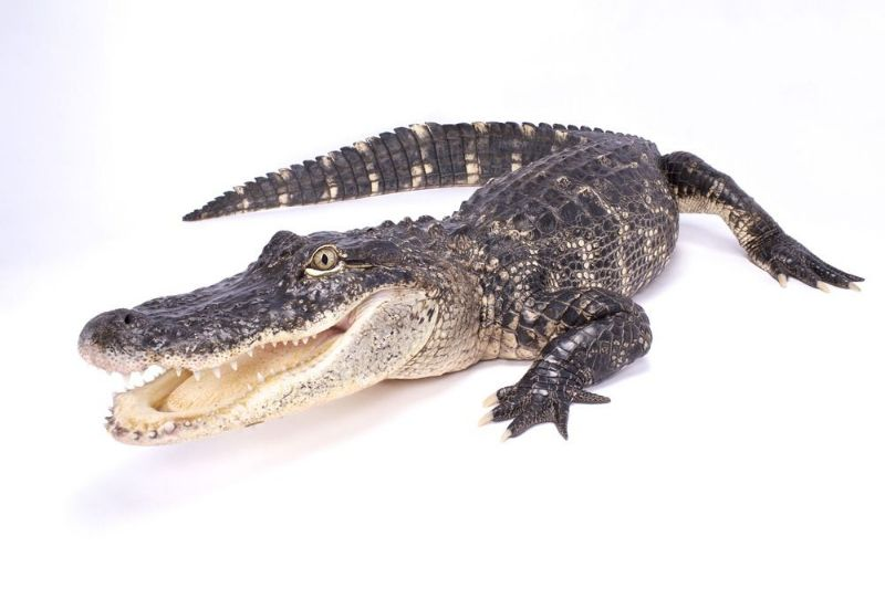 تعبیر خواب خوردن گوشت انسان مرده تعبیر خواب تمساح : دیدن تمساح در خواب نشانه چیست