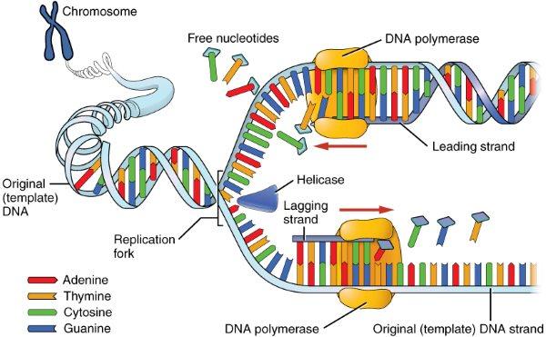 همانند سازی DNA
