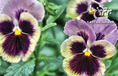 گیاه درمانی کودکانه