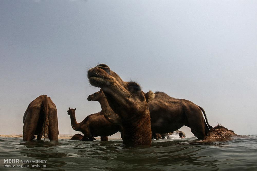 شستشوی شترها در جزیره قشم