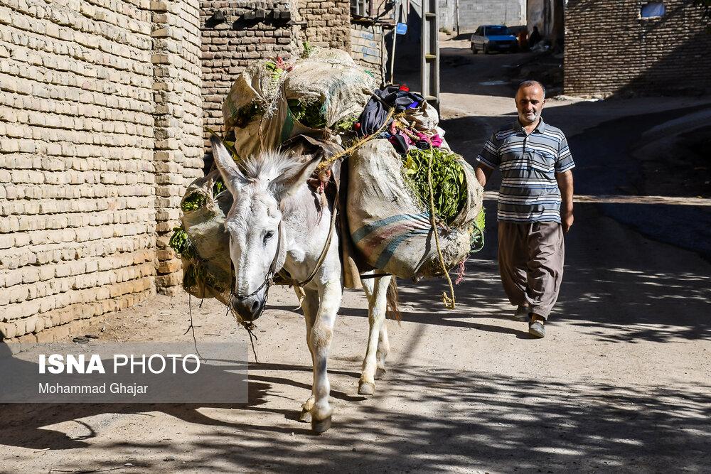 برداشت زیبای توتون در شهرستان مینودشت در استان گلستان