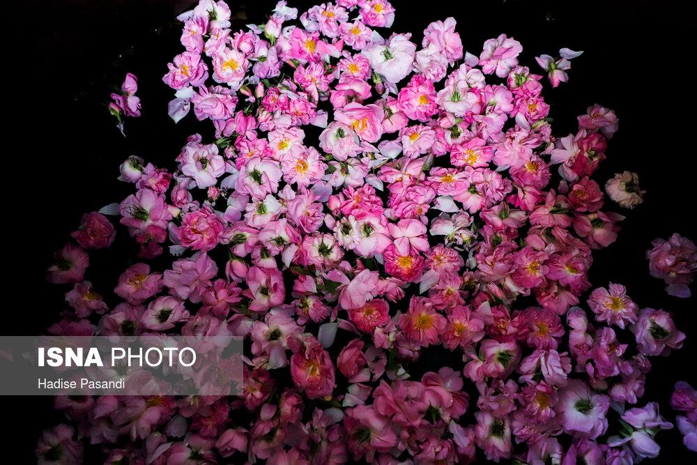 تصاویر برداشت گل محمدی در روستای وامنان گلستان