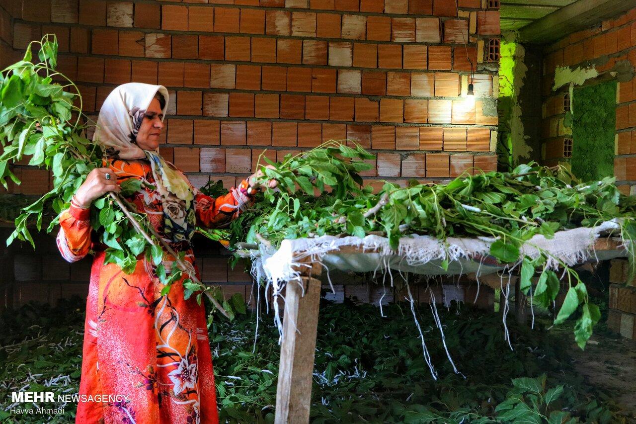 پرورش کرم ابریشم - نوغان Silkworm breeding