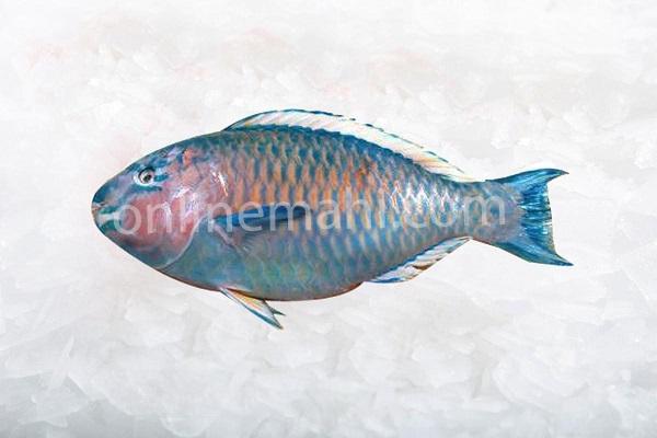 طوطی ماهی