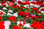 معرفی ۲۷ گل و گیاه آفتاب دوست مناسب فصل تابستان و مکان های گرم