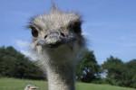 تغذیه جوجه شتر مرغ از بدو تولد تا سن تخم گذاری