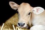پیشگیری ، تشخیص  و ۳ راه درمان فوری اسهال در گوساله ( Calf diarrhea )