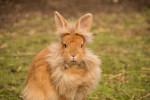علل و درمان فوری عفونت گوش خرگوش