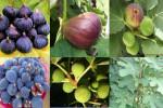 با روش کاشت و تکثیر درخت انجیر آشنا شوید