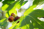 خواص برگ انجیر : ۱۶ خاصیت دارویی و درمانی برگ درخت انجیر