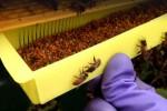 گرده گل و بارداری : درمان قطعی نازایی با گرده زنبور عسل