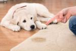 ۶ گام موثر جهت از بین بردن بو و لکه ی ادرار سگ از روی سطوح