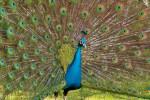 کلیپ شگفت انگیز رقص زیبای طاووس
