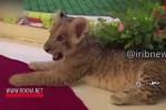 پرورش و نگهداری از توله شیر های در حال انقراض در منزل مسکونی