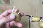 آموزش آسان کاشت سیب زمینی کاملا ارگانیک در گلدان