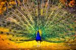 نحوه جفت گیری طاووس در نهج البلاغه چگونه بیان شده + متن شایعه