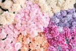 معنی رنگ های مختلف گل میخک : گل میخک نماد چیست ؟