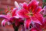 معنی رنگ های مختلف گل لیلیوم : گل لیلیوم نماد چیست ؟