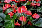 معنی رنگ های مختلف گل آنتوریوم : گل آنتوریوم نماد چیست ؟